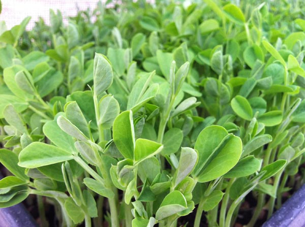 Hartland Organic Family Farm - Field Pea Shoots